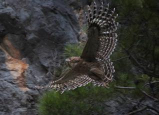 Magical Bird Brown Fish Owls tour at Oymapinar Lake near Manavgat